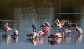 Roseate spoonbills die in het meer drinken stock afbeelding