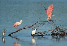 Roseate Spoonbills at Ding Darling Wildlife Refuge Stock Photo