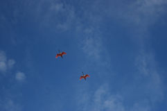 Roseate Spoonbills in Flight Royalty Free Stock Images