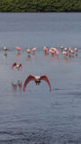 Roseate Spoonbills Flying, J.N. Ding Darling National Wildli Stock Images