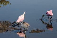 Roseate Spoonbills Foraging, Tricolored Heron, Merritt Island Na royalty free stock photo