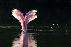 Roseate Spoonbills in the golden hour, J.N. ''Ding'' Darling Nat royalty free stock images