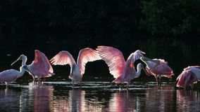 Roseate Spoonbills in the golden hour, J.N. ''Ding'' Darling Nat royalty free stock photo