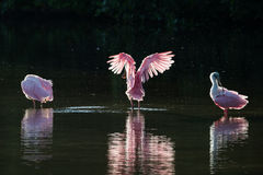 Roseate Spoonbills in the golden hour, J.N. ''Ding'' Darling Nat Royalty Free Stock Photos
