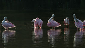 Roseate Spoonbills in the golden hour, J.N. ''Ding'' Darling Nat Stock Photography