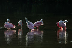 Roseate Spoonbills in the golden hour, J.N. ''Ding'' Darling Nat Royalty Free Stock Photography