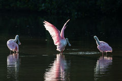 Roseate Spoonbills in the golden hour, J.N. ''Ding'' Darling Nat Stock Images