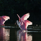 Roseate Spoonbills in the golden hour, J.N. ''Ding'' Darling Nat Royalty Free Stock Image