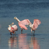Roseate Spoonbills, J.N. ``Ding`` Darling National Wildlife Refu Royalty Free Stock Photos