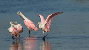 Roseate Spoonbills, J.N. ``Ding`` Darling National Wildlife Refu Royalty Free Stock Image