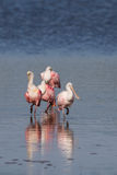 Roseate Spoonbills, J.N. ``Ding`` Darling National Wildlife Refu Stock Photo