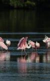 Roseate Spoonbills, J.N. ``Ding`` Darling National Wildlife Refu Stock Image