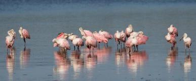 Roseate Spoonbills, J.N. ``Ding`` Darling National Wildlife Refu Stock Images