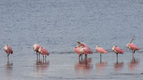 Roseate Spoonbills, J.N. Ding Darling National Wildlife Refu Stock Image