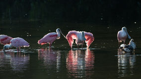 Roseate Spoonbills and juvenile white ibis (Eudocimus albus) in. Roseate Spoonbills (Platalea ajaja) and juvenile white ibis (Eudocimus albus) in the golden hour Stock Images