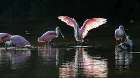 Roseate Spoonbills and juvenile white ibis (Eudocimus albus) in. Roseate Spoonbills (Platalea ajaja) and juvenile white ibis (Eudocimus albus) in the golden hour Stock Image