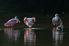 Roseate Spoonbills and juvenile white ibis (Eudocimus albus) in. Roseate Spoonbills (Platalea ajaja) and juvenile white ibis (Eudocimus albus) in the golden hour Royalty Free Stock Photography