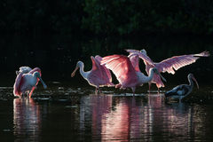 Roseate Spoonbills and juvenile white ibis (Eudocimus albus) in. Roseate Spoonbills (Platalea ajaja) and juvenile white ibis (Eudocimus albus) in the golden hour Stock Photos