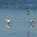 Roseate Spoonbills and Juvenile White Ibis flying, J.N. ``Ding`` Stock Photography