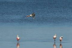 Roseate Spoonbills and Juvenile White Ibis flying, J.N. 'Ding' Darling National Wildlife Refuge, Sanibel Island, Florida. Roseate Spoonbills Platalea ajaja and stock photos