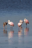 Roseate Spoonbills and Juvenile White Ibis, J.N. ``Ding`` Darlin Stock Images