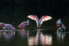 Roseate Spoonbills and juvenile white ibis (Eudocimus albus) in Stock Images