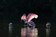 Roseate Spoonbills and juvenile white ibis (Eudocimus albus) in Royalty Free Stock Images