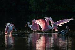 Roseate Spoonbills and juvenile white ibis (Eudocimus albus) in Stock Photos