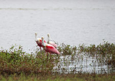 Roseate spoonbills on the lake royalty free stock photography