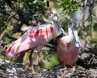 Roseate Spoonbills in Love. These two roseate spoonbills are sitting on a nest at the rookery at the St. Augustine Alligator Farm. I suspect some baby spoonies stock image