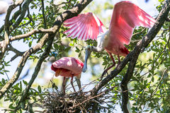 Roseate Spoonbills Nesting Royalty Free Stock Images