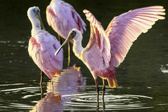 Roseate Spoonbills. One with open wings in the mangrove water stock photo