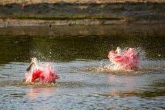 Roseate spoonbills Platalea ajaja. Bathing in water Royalty Free Stock Photo
