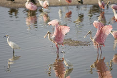 Roseate Spoonbills preening. A couple of Roseate Spoonbills preening their feathers in a group of shorebirds Stock Image