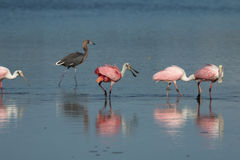 Roseate Spoonbills and Reddish Egret, J.N. ``Ding`` Darling Nati Stock Photography