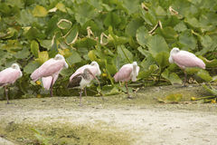 Roseate spoonbills resting at the edge of a swamp, Florida. Royalty Free Stock Image