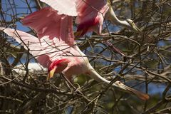 Roseate spoonbills with stretched necks at a Florida rookery. Two roseate spoonbills, Platalea ajaja, standing while stretching their necks through branches of a royalty free stock photo