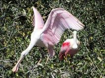 Roseate Spoonbills Umieszczający w Floryda hamaku Zdjęcie Royalty Free