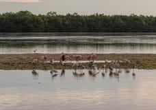 Roseate Spoonbills, vita ibins och ägretthäger, J n Ding Darli Royaltyfria Foton