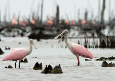 The Roseate Spoonbils Royalty Free Stock Photography