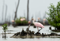 The Roseate Spoonbils Royalty Free Stock Photos