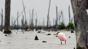 The Roseate Spoonbils Stock Image
