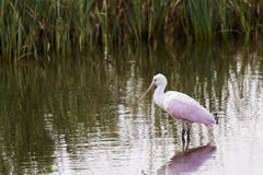 Roseate spoonhill Royalty Free Stock Photos