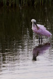 Roseate spoonhill Stock Image