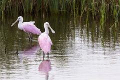 Roseate spoonhill Stock Images