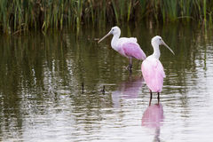 Roseate spoonhill Royalty Free Stock Image