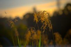 Roseau Photo libre de droits