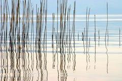 Roseau Image libre de droits