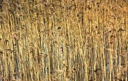 roseau Photo stock