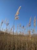 Roseau avec le ciel bleu Photographie stock libre de droits